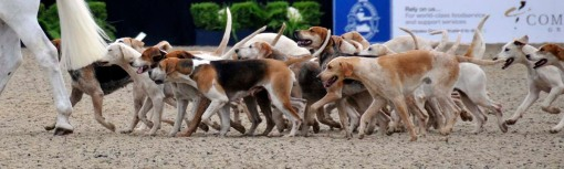 one of the exciting classes of the afternoon was a team jump-off between various hunts; for the awards, these hounds were in the ring as well and led the way for the victory gallop