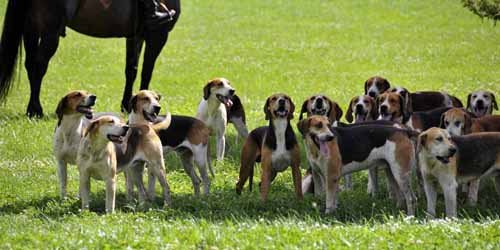 later on Saturday, after the rain, everyone was treated to a visit from the huntsman, whippers-in, and hounds of the local hunt; here, the hounds have gathered in the shade and are watching all the people watching them