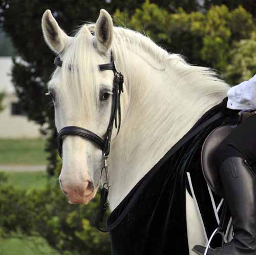 "one of Ayrshire Farm's ""smaller"" Shires, being ridden in the demonstration"
