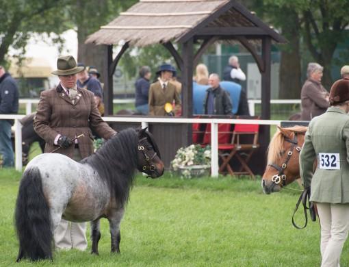 blog-ponies2-Shetlands-0211